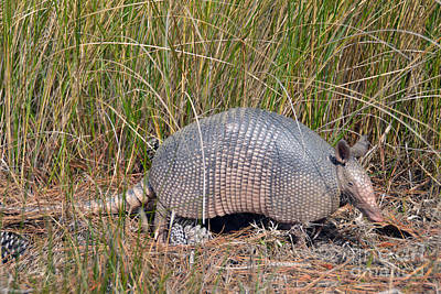 Photograph - Armadillo At Bear Island In South Carolina by Catherine Sherman