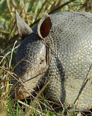 Marsupial Photograph - Armadillo By Morning by Robert Frederick