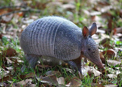 Photograph - Armadillo by Carol Groenen