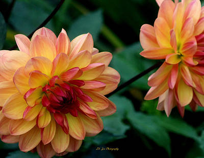 Photograph - Array Of Dahlias by Jeanette C Landstrom