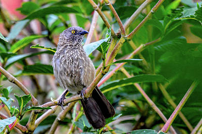 Photograph - Arrow-marked Babbler In Tanzania by Marilyn Burton