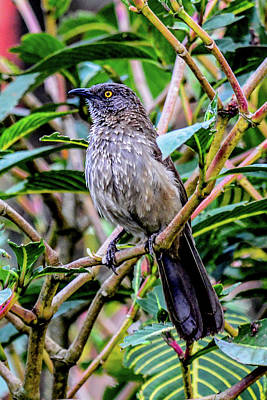 Photograph - Arrow-marked Babbler by Marilyn Burton