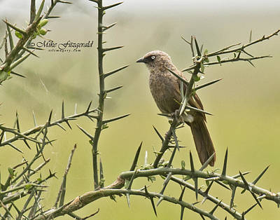 Photograph - Arrow-marked Babbler by Mike Fitzgerald