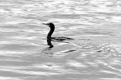 Photograph - Arthur Kill Cormorant by Steven Richman