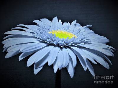 Photograph - Artic Blue Gerber Daisy by Chad and Stacey Hall
