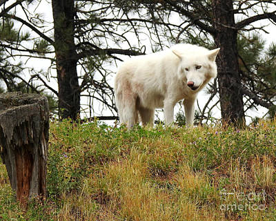 Photograph - Arctic Wolf by Kathy M Krause