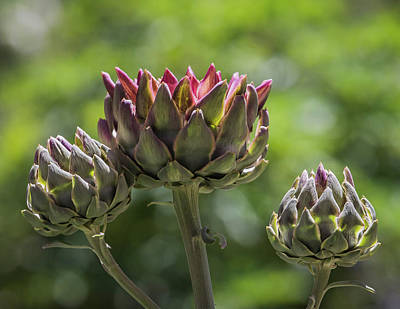Photograph - Artichoke Plant-img_845818 by Rosemary Woods-Desert Rose Images