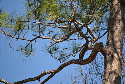 Photograph - Artistic Slash Pine Branch by rd Erickson