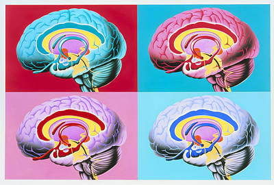 Artworks Showing The Limbic System Of The Brain Art Print by John Bavosi