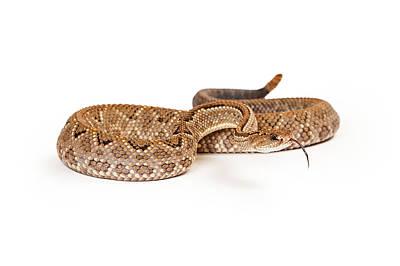 Rattlesnakes Photograph - Aruba Rattlesnake Coiled Tongue Out by Susan Schmitz