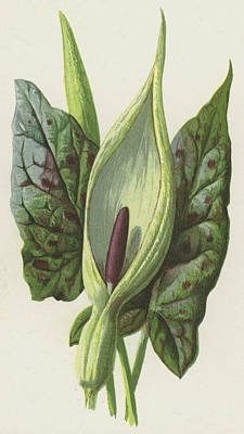 Leaf Drawing - Arum, Cuckoo Pint by Frederick Edward Hulme