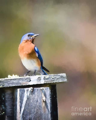 Bluebird Photograph - As Long As There Are Bluebirds by Kerri Farley