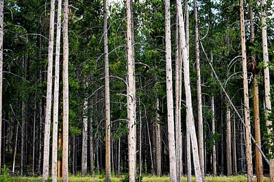 Photograph - As We Enter The Forest - Yellowstone National Park by Matt Harang