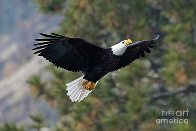 Bald Eagle Photograph - Ascent by Mike Dawson