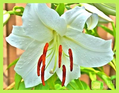 Asciatic White Lily Original by Marsha Heiken