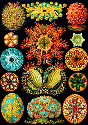 Spiritual Teacher Painting - Ascidiacea Sea Squirts by Ernst Haeckel