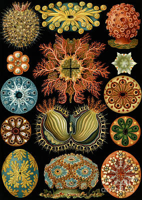 Organisms Painting - Ascidiae by Ernst Haeckel