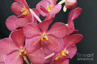 Photograph - Ascocenda Orchids by Judy Whitton