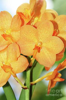 Photograph - Ascocenda Su-fun Beauty Orange Belle Orchids by Judy Whitton