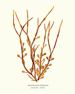 Coastal Maine Mixed Media - Ascophyllum Nodosum, Casco Bay, Maine by John Ewen