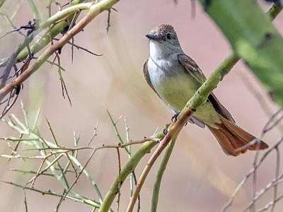 Photograph - Ash-throated Flycatcher 9460 by Tam Ryan