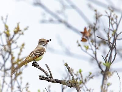 Photograph - Ash-throated Flycatcher by Debra Martz