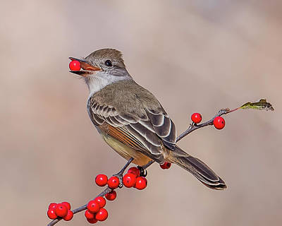 Westport Ct Photograph - Ash-throated Flycatcher With A Red Berry by Morris Finkelstein