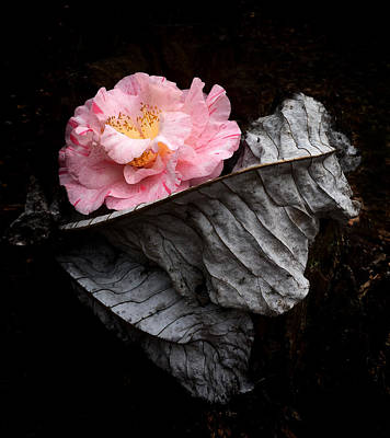 Camellia Photograph - Ashes Camelia by Kathryn Stivers