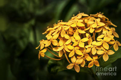 Photograph - Ashoka Flowers - Yellow Variety by Charuhas Images