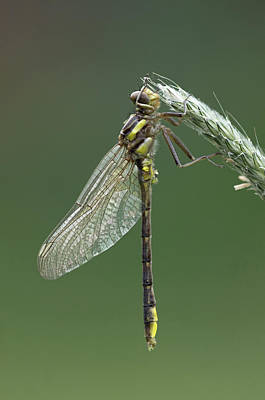 Photograph - Ashy Or Dusky Clubtail by Jim Zablotny