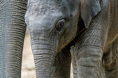 Photograph - Asian Baby Elephant by Arterra Picture Library