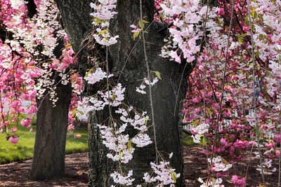 Photograph - Asian Cherry In Bloom by Jessica Jenney