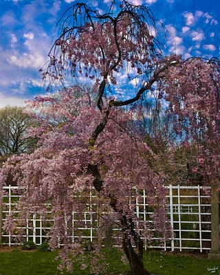 Photograph - Asian Cherry In Blossom by Chris Lord