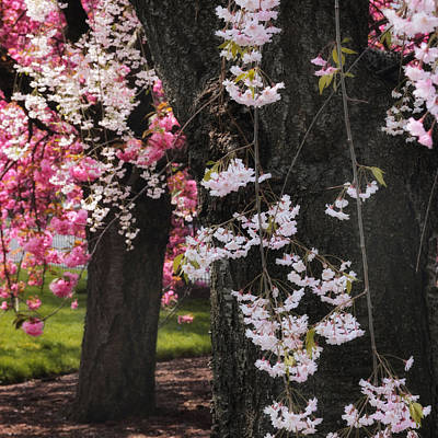 Cherry Blossoms Photograph - Asian Cherry by Jessica Jenney