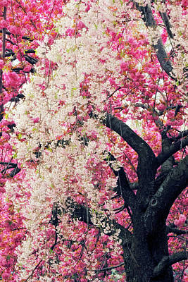 Photograph - Asian Cherry Vignette by Jessica Jenney