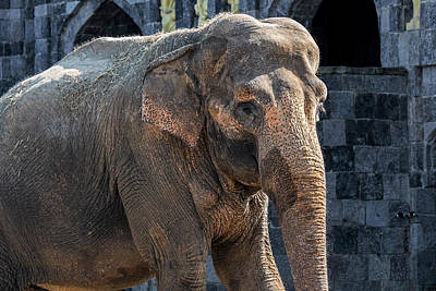 Photograph - Asian Elephant by Arterra Picture Library