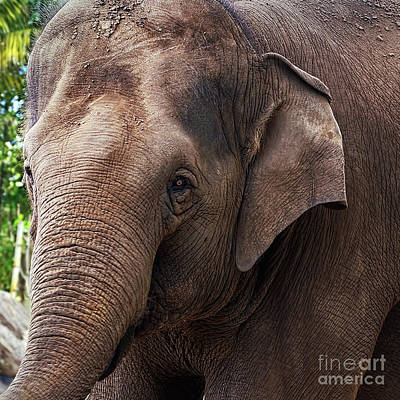 Photograph - Asian Elephant Portrait By Kaye Menner by Kaye Menner