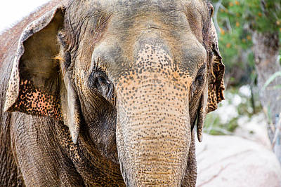 Photograph - Asian Elephant by SR Green