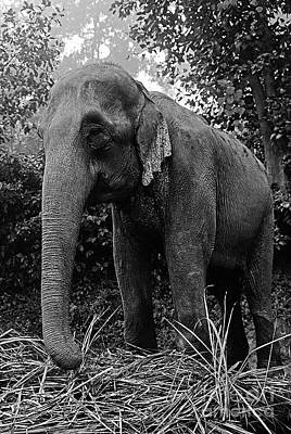 Photograph - Asian Elephant -terai Nepal by Craig Lovell