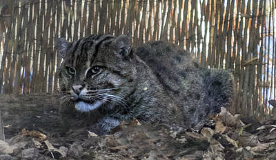 Photograph - Asian Fishing Cat by William Bitman