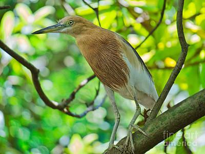 Photograph - Asian Heron by Judy Kay