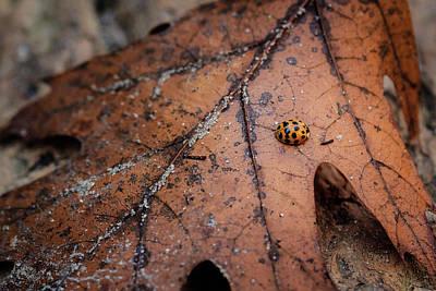 Photograph - Asian Lady Bug On A Fallen Maple Leaf by Joni Eskridge