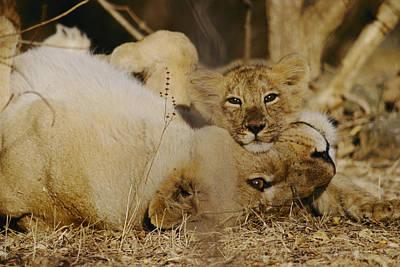 Asian Lions, Panthera Leo Persica Art Print