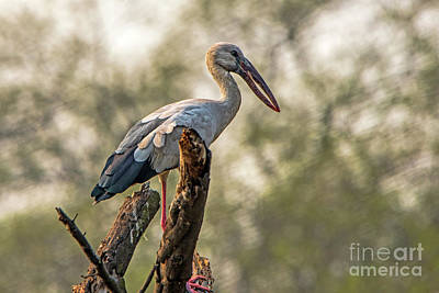 Photograph - Asian Openbill by Pravine Chester