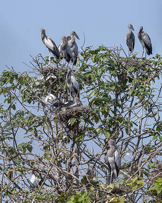 Photograph - Asian Openbill Stork Rookery Dthn0197 by Gerry Gantt