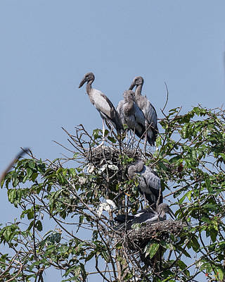 Photograph - Asian Openbill Stork Rookery Dthn0198 by Gerry Gantt