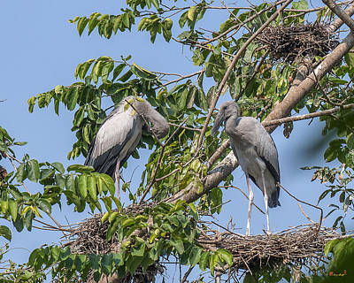 Photograph - Asian Openbill Stork Rookery Dthn0199 by Gerry Gantt