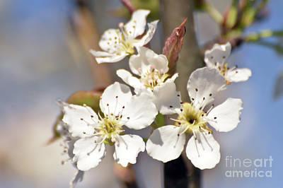 Photograph - Asian Pear Blossoms by Kerri Farley