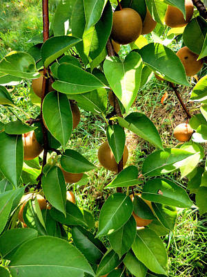 Asian Pears On The Tree 1 Art Print by Lanjee Chee