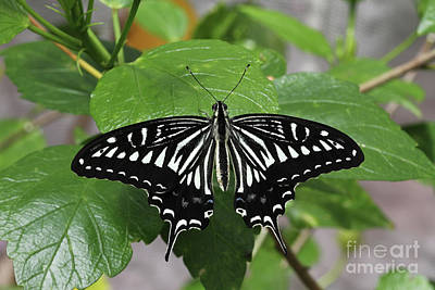 Photograph - Asian Swallowtail Butterfly #3 by Judy Whitton